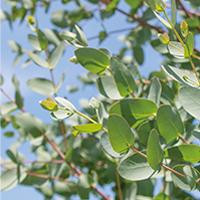 eucalyptus-extract-image