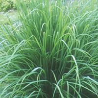 lemon-grass-extract-image