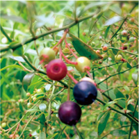bilberry-extract-image